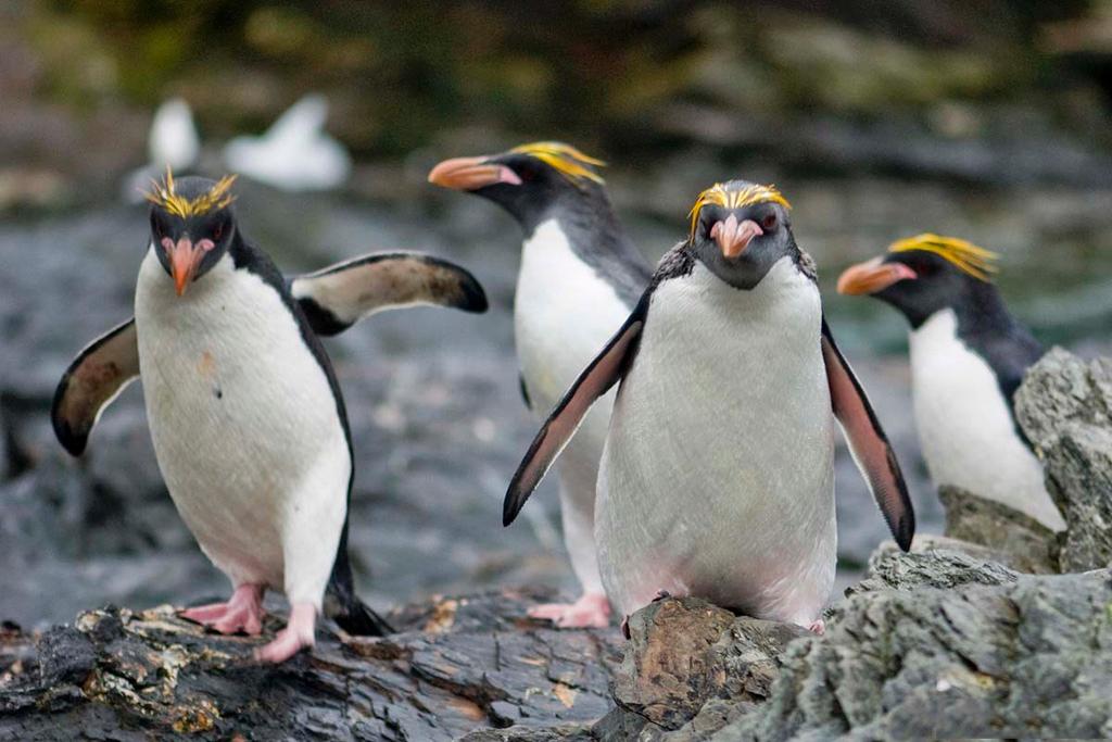 Macoroni Penguin