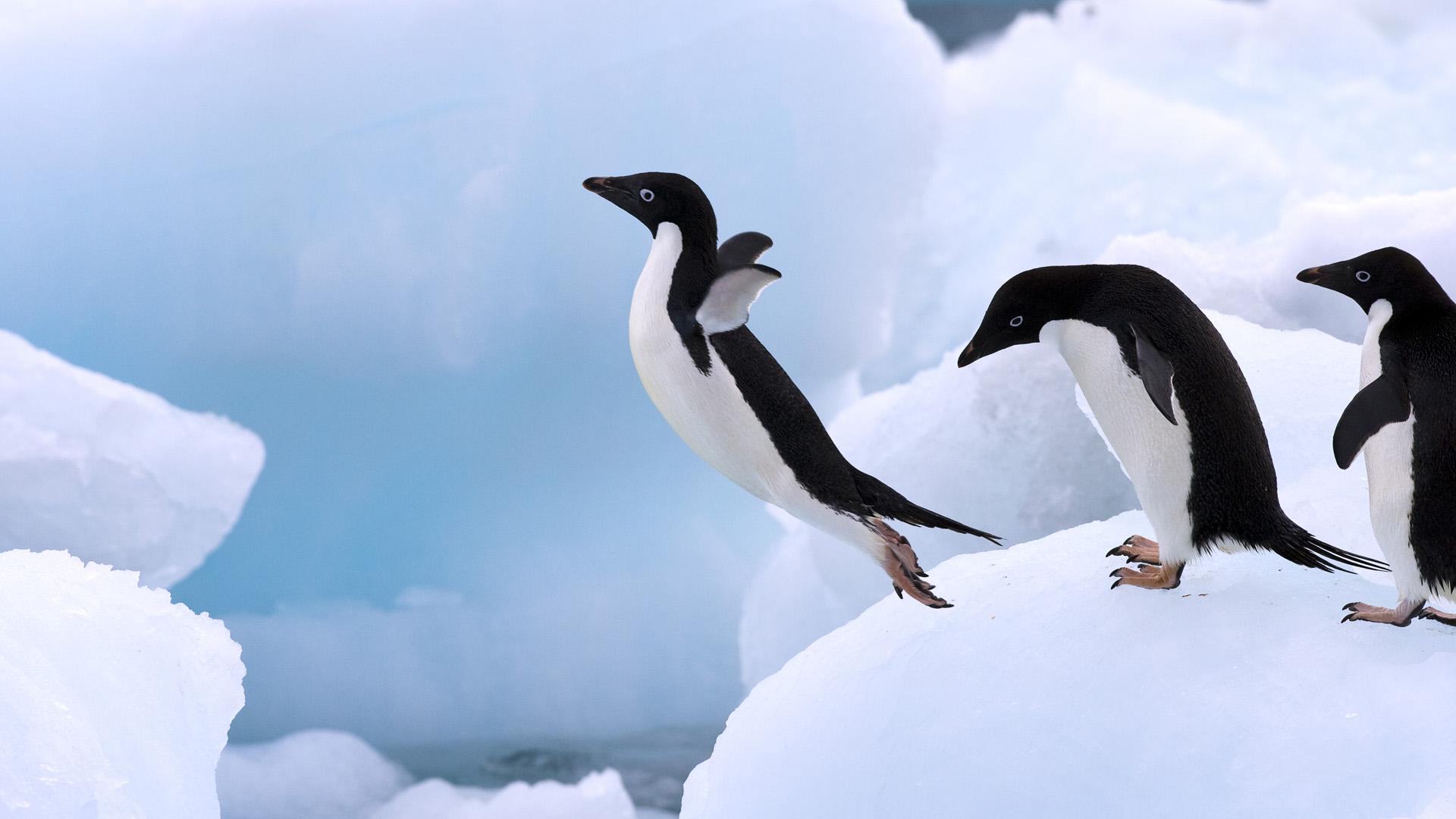 adelie pengueni