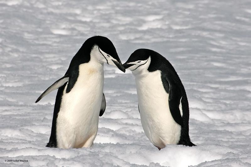 chinstrap-pengueni