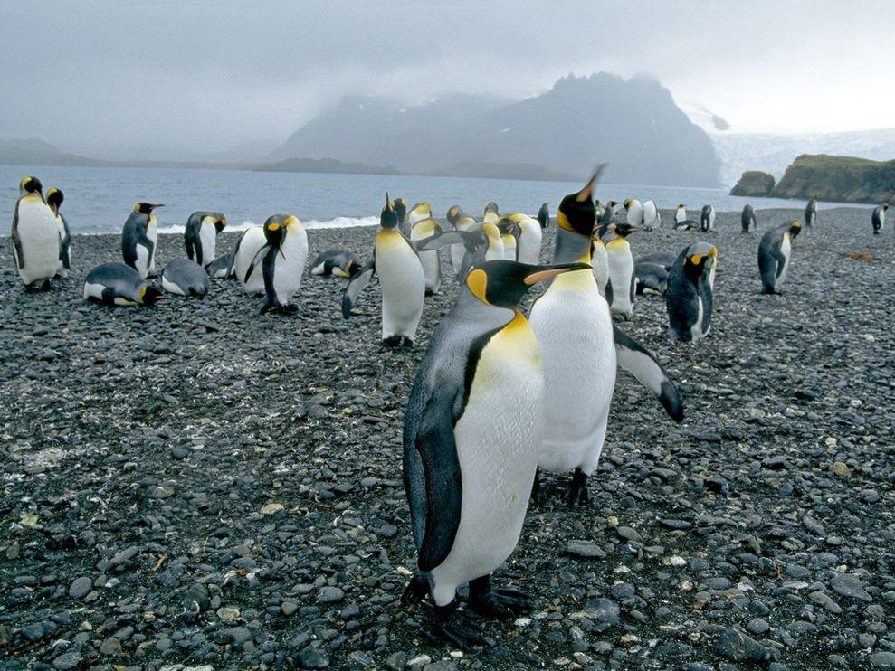 king-penguin-group