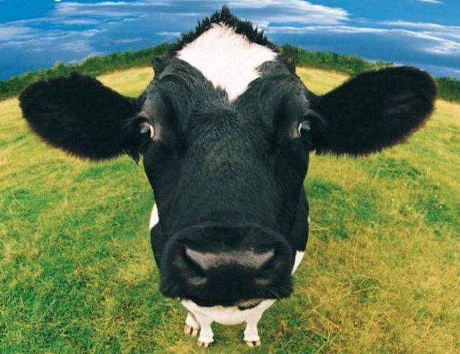 ig-nobel-odulleri-award-inek-siyah-beyaz-inek-mor-inek