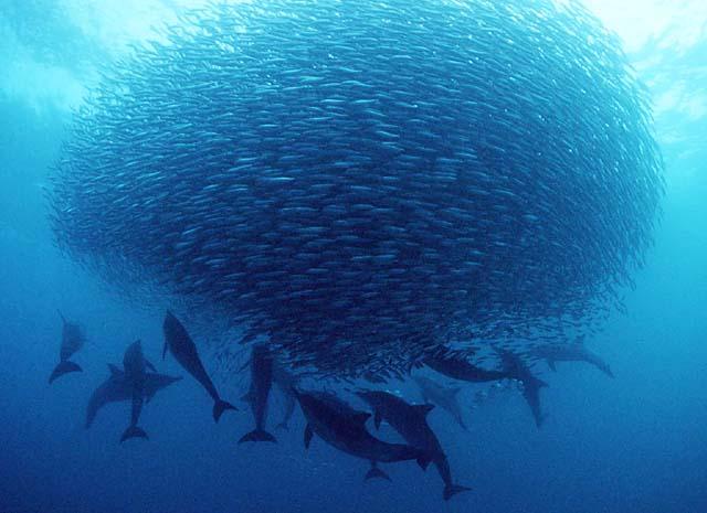 ig-nobel-odulleri-award-sardine-sardalya-yellenme