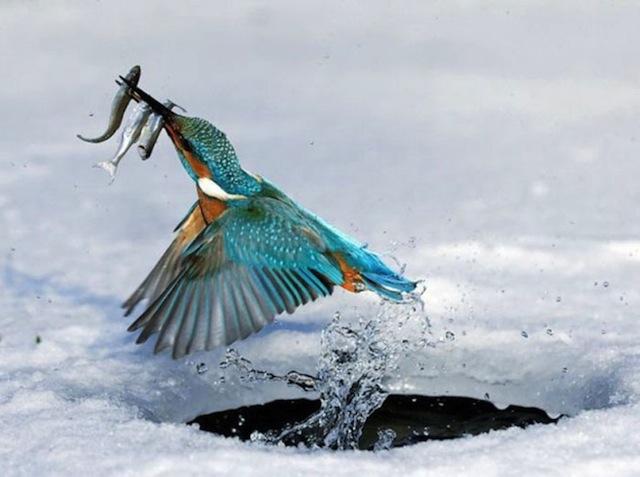 balık-avcısı-kus