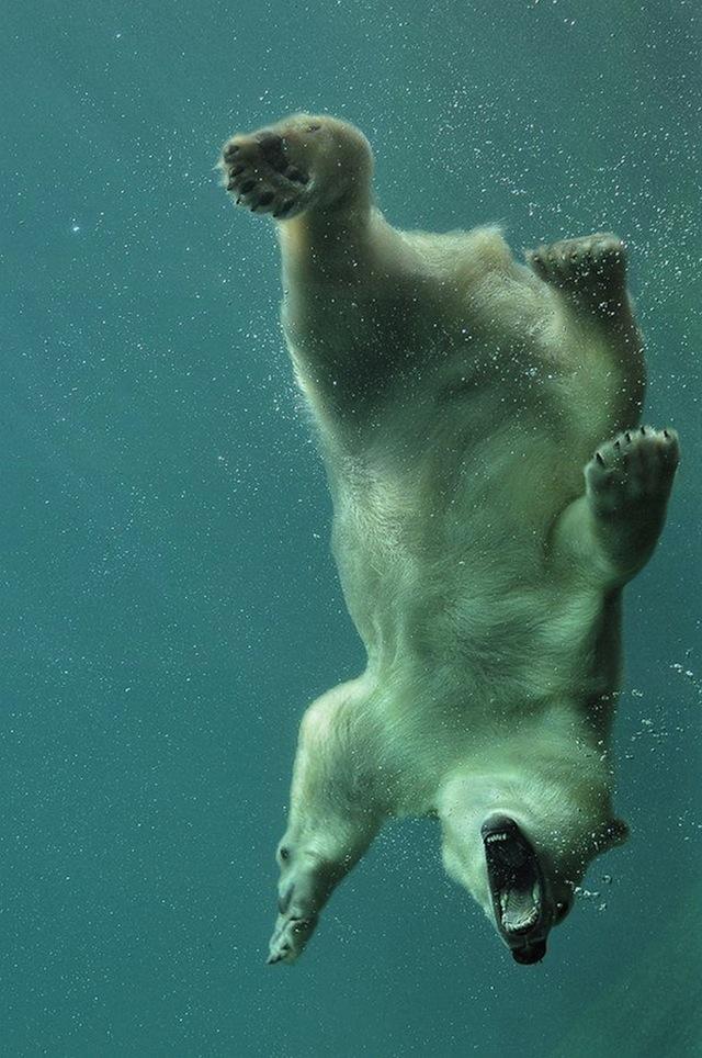 kutup-ayısı