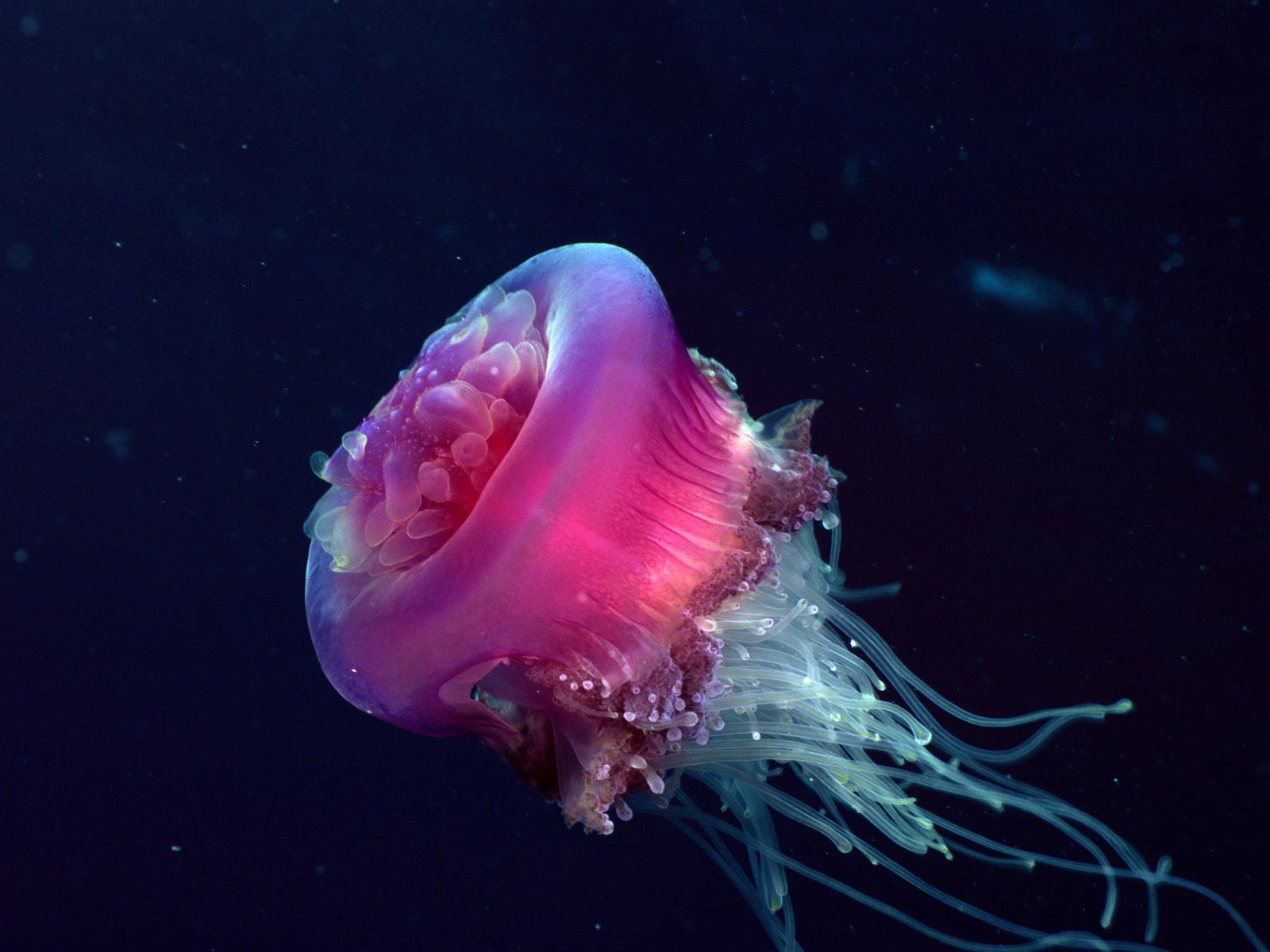 mor deniz anası