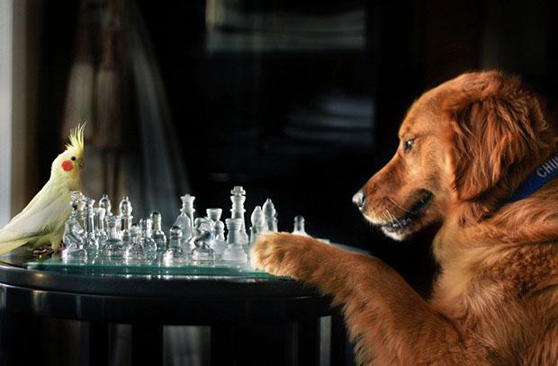 kopek-satrancı