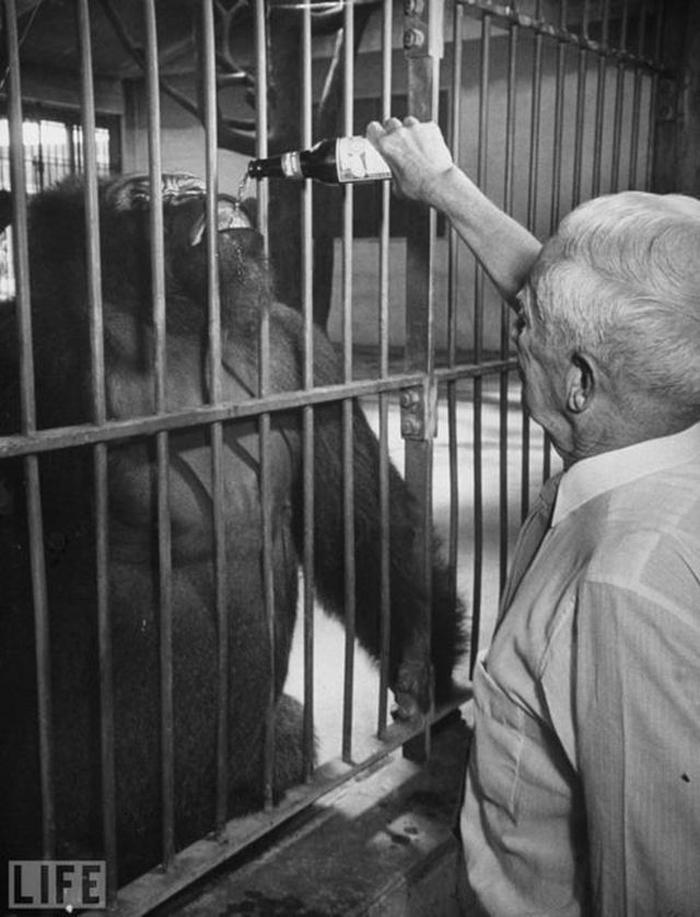 gorile-bira-icirmek