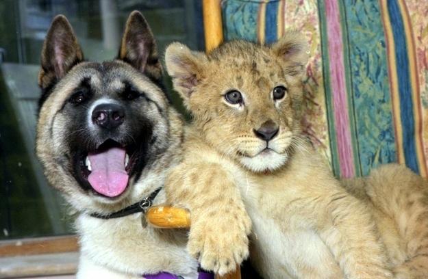 aslan-kopek