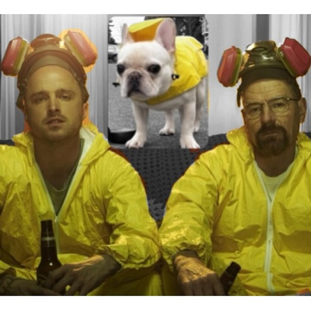 breaking bad bulldog