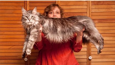 dünyanın en büyük kedisi