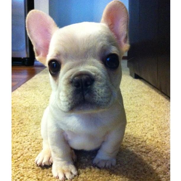 sevimli-bulldog