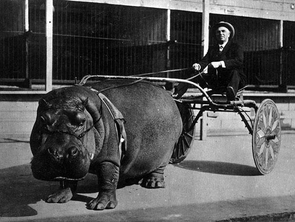 sirk-hipopotam-ile-ulasim-1924