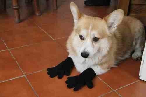 siyah-eldiven-giyen-kopek