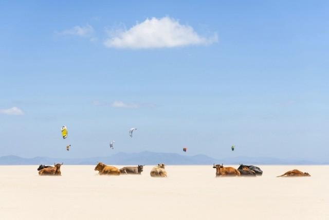 cows-ve-kites