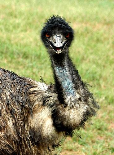 emu-kuslari-avustralya-savasi