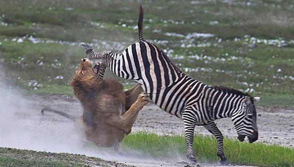 zebra-at-tekme
