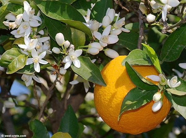 antalya-portakal-cicegi