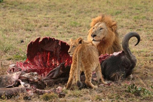 aslan-avlanmis-aslan-burcu