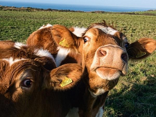 arkadas-canlisi-inekler