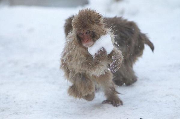 kartopu-oynayan-sebek-maymunlar