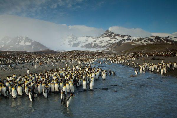Penguins at Saint Andrews Bay - 2014-06-18_265805_outdoor-scenes.jpg