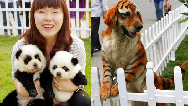 panda-kaplan-kopek