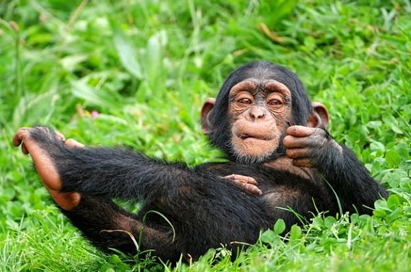 sempanzeler-bebeklerle-oynarken