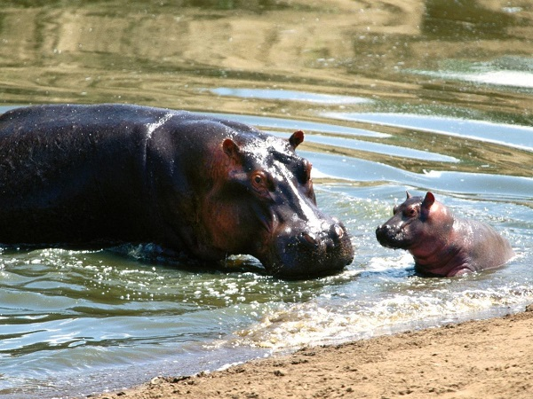 yavru-hipopotam