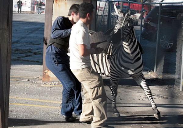 ODD Runaway Zebra Atlanta