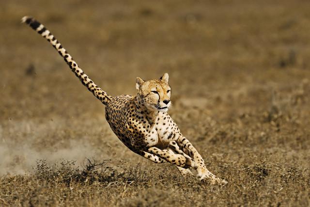 Cheetah giving chase