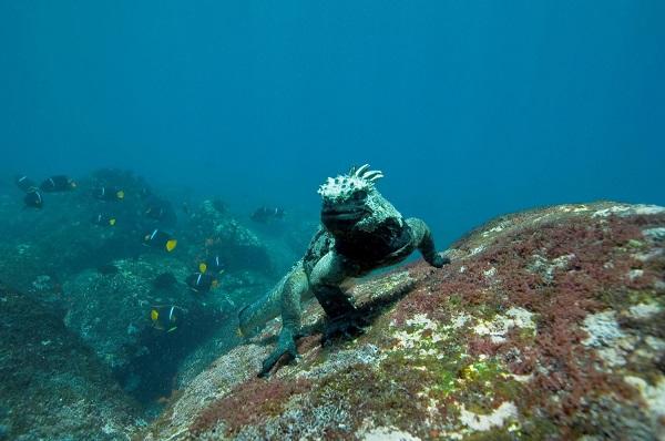 galapagos-adalari-05-deniz-iguanasi