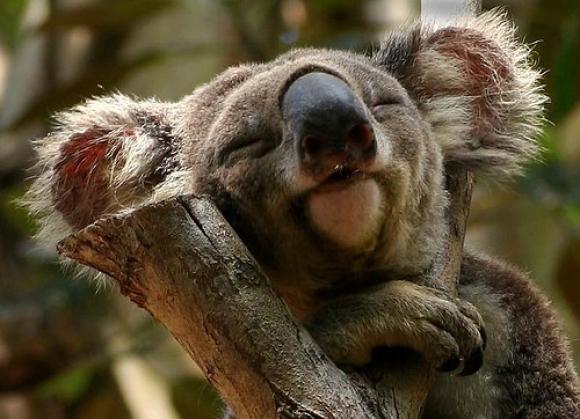 koala-uyumak