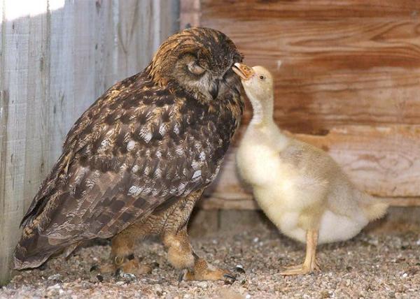 gandalf-baykus