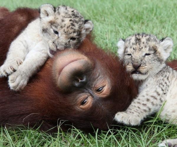 orangutan-hanama