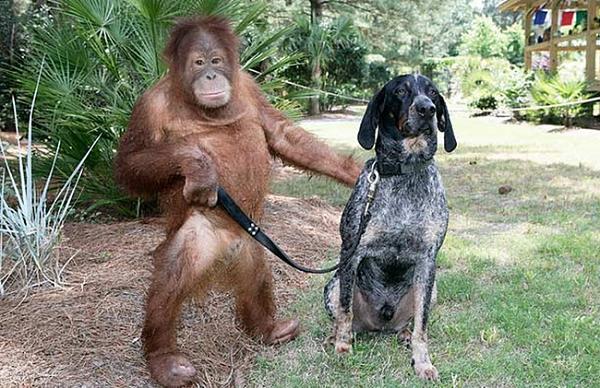 orangutan-ve-kopek