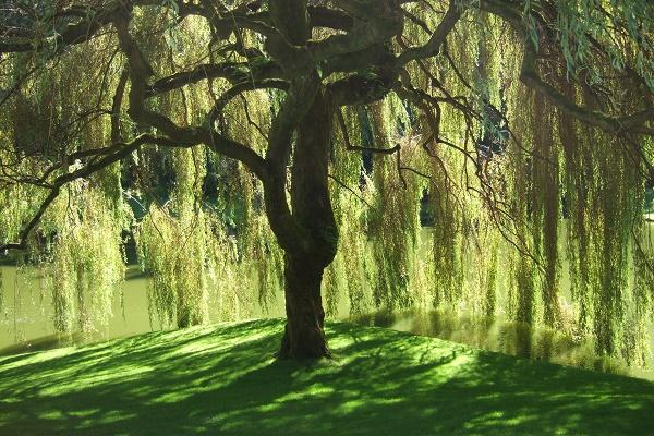 willow-tree-listelist