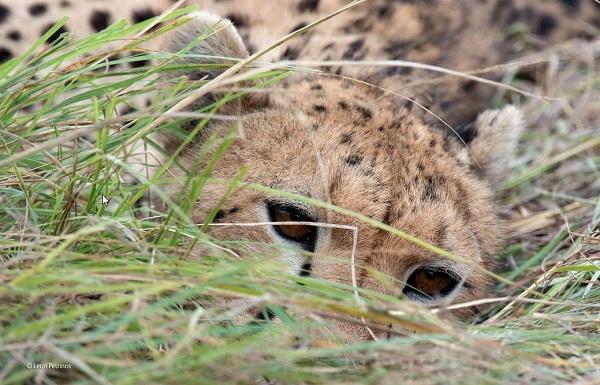 2014-10-24 17_20_50-The watchful cheetah _ Leon Petrinos _ 10 Years and Under _ Wildlife Photographe