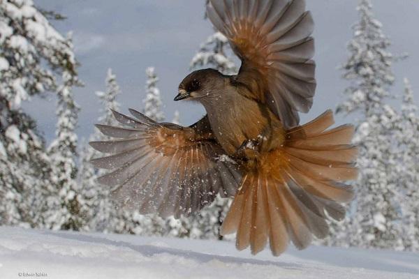2014-10-24 17_26_43-Snowbird _ Edwin Sahlin _ 15-17 Years _ Wildlife Photographer of the Year