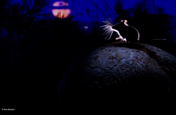 2014-10-24 17_30_10-The mouse, the moon and the mosquito _ Alexander Badyaev _ Mammals _ Wildlife Ph