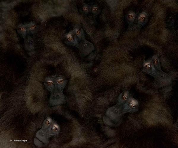 2014-10-24 17_33_07-Communal warmth _ Simone Sbaraglia _ Mammals _ Wildlife Photographer of the Year