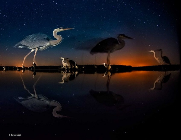 2014-10-24 17_36_49-Herons in time and space _ Bence _ Birds _ Wildlife Photographer of the Yea