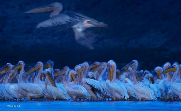 2014-10-24 17_39_07-Night of the pelicans _ Greg du Toit _ Birds _ Wildlife Photographer of the Year