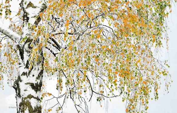 2014-10-24 17_50_09-Golden birch _ Herfried Marek _ Plants and Fungi _ Wildlife Photographer of the