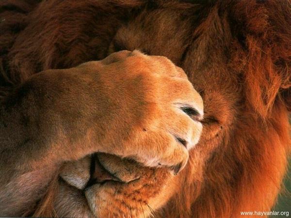 utangac-aslan