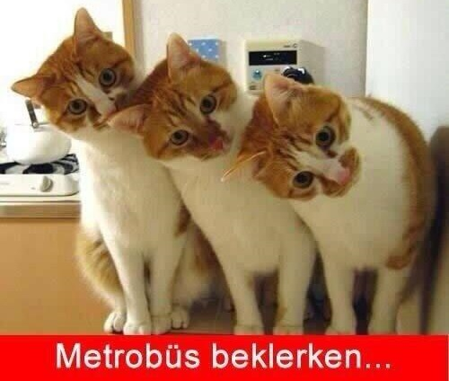 metrobus-beklerken-caps-kediler