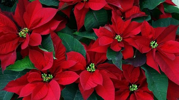 Rengarenk Halleri Birbirinden Güzel Hikâyeleriyle 13 ünlü Kış çiçeği