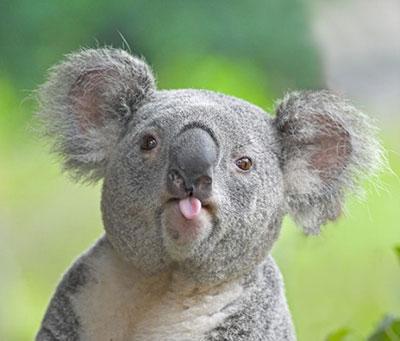 funny-koala-s