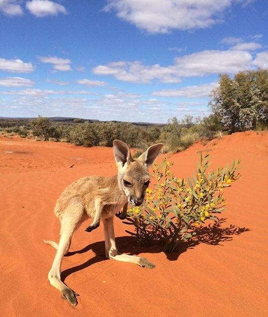 kanguru bebegi