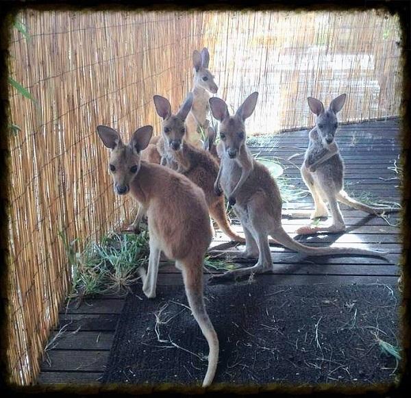 kanguru kardesler