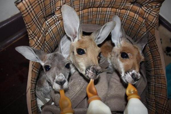 kanguru sut
